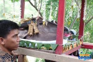 Sedekah Waduk Cacaban, Kabupaten Tegal